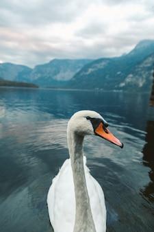 Vertikale aufnahme eines weißen schwans, der im see in hallstatt schwimmt. österreich