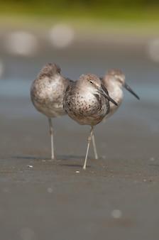 Vertikale aufnahme von drei vögeln, die am strandufer spazieren gehen