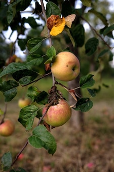 Vertikale aufnahme von köstlichen äpfeln auf einem baum, in einem garten bei tageslicht
