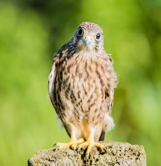 Vertikale flache fokusnahaufnahme eines verwirrten turmfalkenvogels, der auf einem hölzernen baumstamm steht
