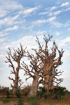 Vertikale gruppe von affenbrotbäumen