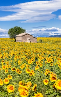 Vertikale landschaft mit sonnenblumenfeld über bewölktem blauem himmel