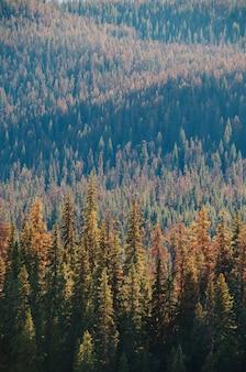 Vertikale luftaufnahme des kiefernwaldes während des tages
