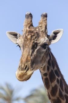 Vertikale nahaufnahme des kopfes einer giraffe während eines sonnigen tages
