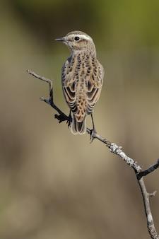 Vertikale nahaufnahme eines fliegenfängers der alten welt, der auf einem zweig mit einem unscharfen hintergrund thront