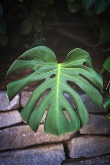 Vertikale nahaufnahme eines monstera-pflanzenblattes