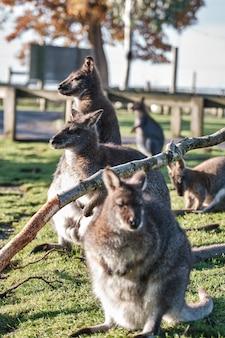 Vertikale nahaufnahme von niedlichen wallabys, die im feld sitzen