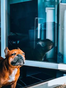 Vertikale nahaufnahmeaufnahme einer braunen bulldogge, die aus dem fenster schaut