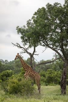 Vertikale nahaufnahmeaufnahme einer niedlichen giraffe, die zwischen den grünen bäumen in der wildnis geht