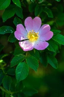 Vertikale nahaufnahmeaufnahme einer schönen rosa wildrose auf einer unscharfen