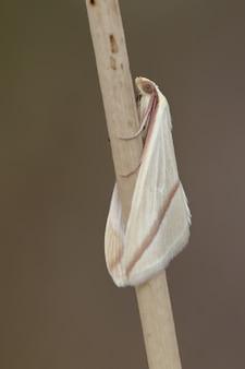 Vertikale nahaufnahmeaufnahme einer vestal motte der familie geometridae thront auf einem gras
