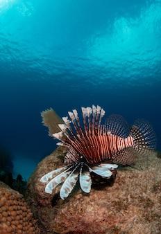 Vertikale nahaufnahmeaufnahme eines abgestreiften exotischen tropischen fisches, der tief unter wasser schwimmt