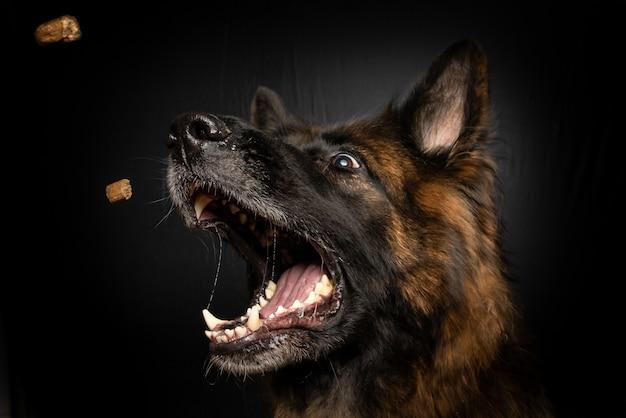 Vertikale nahaufnahmeaufnahme eines braunen hundes, der hundefutter in seinem mund fängt