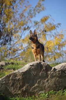Vertikale nahaufnahmeaufnahme eines deutschen schäferhundes, der an einem sonnigen tag auf einem stein steht