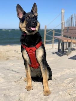 Vertikale nahaufnahmeaufnahme eines deutschen schäferhundes, der im strand sitzt