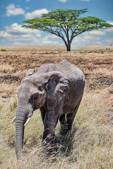 Vertikale nahaufnahmeaufnahme eines niedlichen elefanten, der auf dem trockenen gras in der wildnis geht
