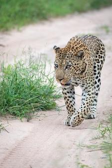 Vertikale nahaufnahmeaufnahme eines schönen afrikanischen leoparden, der auf der straße geht