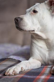Vertikale nahaufnahmeaufnahme eines weißen pitbulls, der auf einer couch sitzt