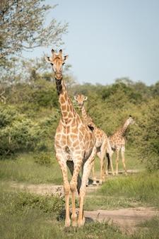 Vertikale nahaufnahmeaufnahme von niedlichen giraffen, die zwischen den grünen bäumen in der wildnis gehen