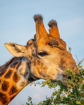 Vertikale selektive fokusaufnahme einer giraffe, die blätter mit dem himmel isst