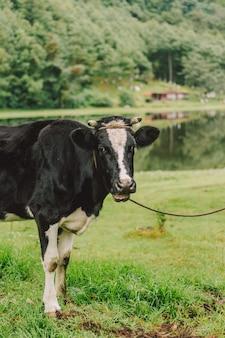 Vertikale selektive fokusaufnahme einer schwarz-weißen kuh auf dem grünen feld in der nähe eines teiches
