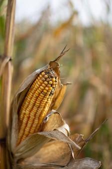 Vertikale selektive fokusaufnahme eines mais mit einer unschärfe eines maisfeldes