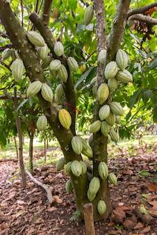 Vertikale selektive fokusaufnahme von theobroma-kakao, der auf einem baum wächst, der bereit ist, schokolade zu werden