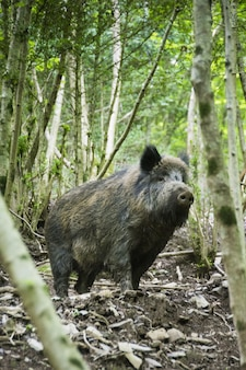 Vertikale selektive fokusaufnahme von wildschweinen im wald