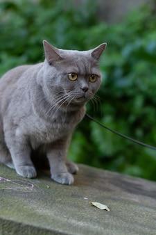 Vertikale selektive fokusnahaufnahme einer britischen kurzhaarigen grauen katze