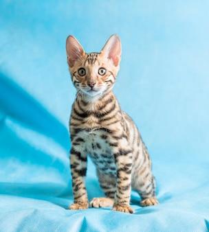 Vertikale studioaufnahme eines niedlichen bengalischen kätzchens, das direkt in die kamera mit blauem hintergrund schaut