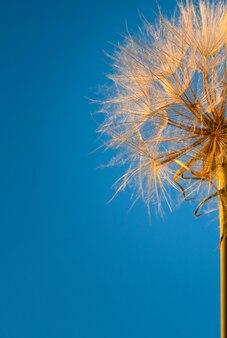 Vertikaler hintergrund des blauen himmels und des löwenzahns in der orange sonne.