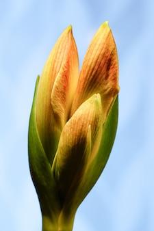 Vertikaler schuss der gelben und orange amaryllisblüte auf blauem hintergrund