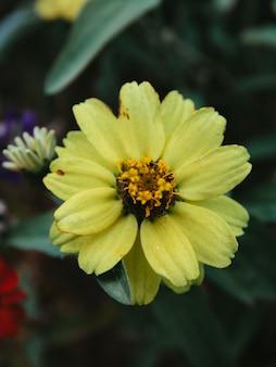 Vertikaler schuss der gelben zinnienblume