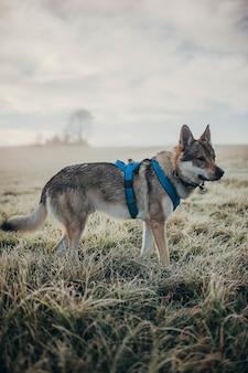 Vertikaler schuss des wolfshundes mit dem geschirr, das auf dem gras steht