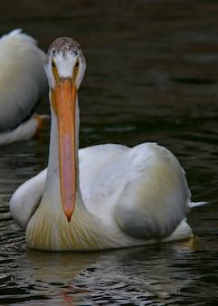 Vertikaler schuss eines amerikanischen weißen pelikans auf dem wasser