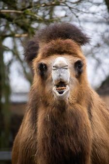 Vertikaler schuss eines braunen kamels der vorderansicht