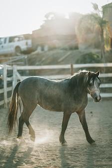 Vertikaler schuss eines grauen pferdes, das einen gurt trägt, der auf einem sandigen boden geht