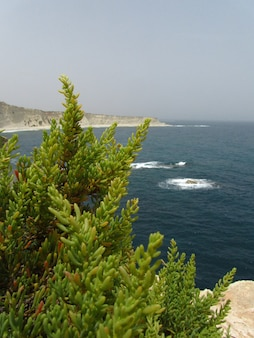 Vertikaler schuss eines grünen maltesischen salzbaums neben den steilküsten in delimara, mala