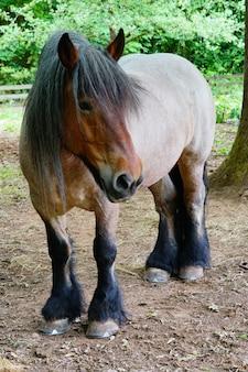 Vertikaler schuss eines kaltblütigen pferdes, das auf einem schmutzboden an der farm steht