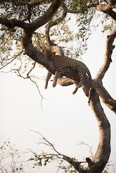 Vertikaler schuss eines leoparden, der auf dem baum schläft