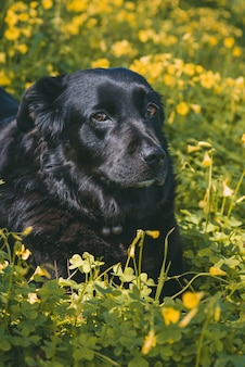 Vertikaler schuss eines niedlichen schwarzen hundes, der auf gelben blumen liegt