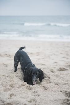 Vertikaler schuss eines niedlichen schwarzen spanielhundes, der mit sand am strand spielt