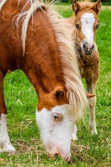 Vertikaler schuss eines pferdes und eines ponys, die auf einem mit gras bedeckten feld grasen