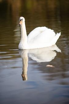 Vertikaler schuss eines schwans, der im teich schwimmt, spiegelte sich im wasser wider