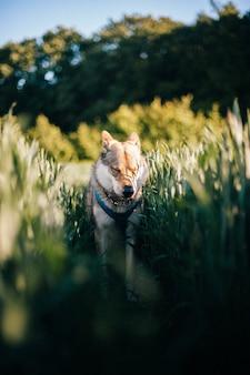 Vertikaler schuss eines tschechoslowakischen wolfshundes in einem feld mit hohem gras während des tageslichts