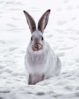 Vertikaler schuss eines weißen kaninchens in einem feld, das im schnee bedeckt ist