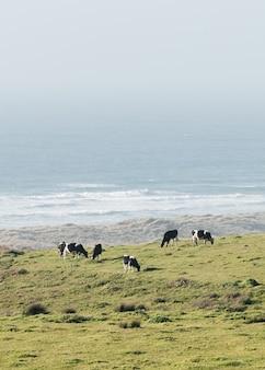 Vertikaler schuss von kühen, die in einem feld am ozeanufer grasen