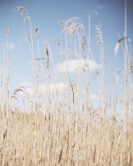 Vertikaler schuss von trockenem schilf in einem trockenen grasfeld