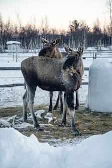 Vertikaler schuss von zwei elchen, die heu im norden schwedens essen