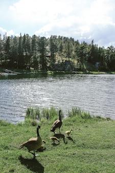 Vertikaler schuss von zwei enten mit entenküken, die auf gras nahe dem wasser stehen
